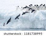 Adelie Penguin  Pygoscelis...