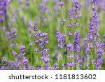 blossoming lavender field ... | Shutterstock . vector #1181813602
