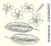 vector vintage set of plumeria... | Shutterstock .eps vector #1181846092