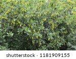 common barberry   it is... | Shutterstock . vector #1181909155