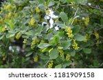 common barberry   it is... | Shutterstock . vector #1181909158