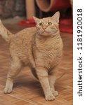 Stock photo funny tabby red kitten ginger red kitten 1181920018
