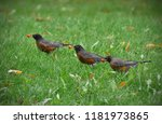 an image of three young robin... | Shutterstock . vector #1181973865