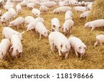 herd of young piglet on hay and ... | Shutterstock . vector #118198666