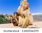 barbary macaques  macaca... | Shutterstock . vector #1182036295