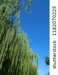 weeping willow under the blue...   Shutterstock . vector #1182070225