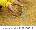 Rice Seeds On Man Farmer Hands...