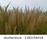 reed flowers in full bloom on...   Shutterstock . vector #1182156418