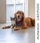 Stock photo golden retriever and kitten 1182191032