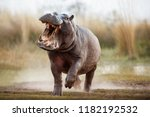 Aggressive Hippo Male Attackin...