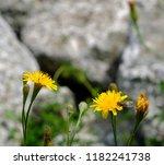 bee on dandelion close up in... | Shutterstock . vector #1182241738