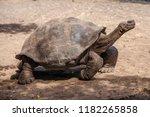 Stock photo galapagos giant tortoise tortoise breeding center isabela galapagos islands ecuador south 1182265858