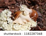big african snail in the nature   Shutterstock . vector #1182287368