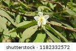 jam tree flower close up   Shutterstock . vector #1182332572