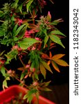 multicolor cannabis plant in pot | Shutterstock . vector #1182343042