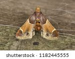 the meal moth  pyralis... | Shutterstock . vector #1182445555