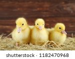 Little Yellow Ducklings On Hay