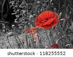 a closeup of a red poppy on a... | Shutterstock . vector #118255552
