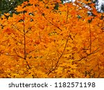 indian summer   orange leaves... | Shutterstock . vector #1182571198