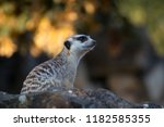 isolated single meerkat... | Shutterstock . vector #1182585355