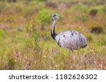 greater rhea  rhea american  in ... | Shutterstock . vector #1182626302