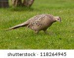 Pheasant Female Profile View...