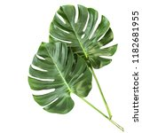 green leaves monstera | Shutterstock . vector #1182681955