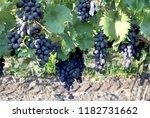 view of beautiful vineyards in... | Shutterstock . vector #1182731662