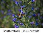 hawk moth collects pollen from...   Shutterstock . vector #1182734935