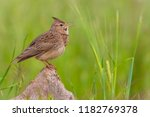 nice bird crested lark ... | Shutterstock . vector #1182769378