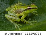 speckled glass frog  ... | Shutterstock . vector #118290736
