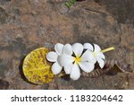 plumeria flowers on stone ... | Shutterstock . vector #1183204642