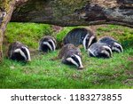 badger sow and cubs family... | Shutterstock . vector #1183273855