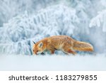 running red fox  vulpes vulpes... | Shutterstock . vector #1183279855