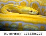 Golden yellow Python the snake