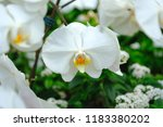 close up of white orchid | Shutterstock . vector #1183380202