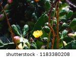 cactus flower blooming | Shutterstock . vector #1183380208