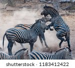 Zebra Stallions Fighting Each - Fine Art prints