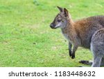 a young wallaby on grass with... | Shutterstock . vector #1183448632