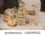 Fennec Foxes Is Sleeping.