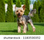 An adorable Australian Silky Terrier posing on fresh mowed lawn in hot summer sunny day. Dog standing on fresh cut grass waiting for the command. - stock photo