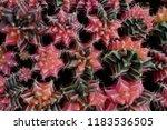 variegated gymnocalycium... | Shutterstock . vector #1183536505