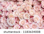 Stock photo delicate pink roses 1183634008
