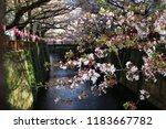 sakura flowers on tree in park | Shutterstock . vector #1183667782