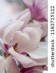 closeup of magnolias | Shutterstock . vector #1183715122