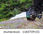 The Western Capercaillie ...