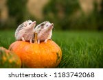 Two Hedgehogs Are Sitting On A...