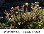 Alpine Wild Flower Saxifraga...