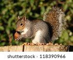 Grey Squirrel Feeding On...