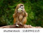 guinea baboon  papio papio ... | Shutterstock . vector #1183941115